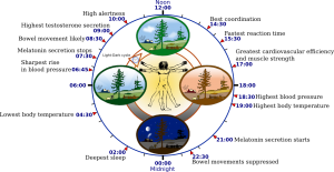 What are the sleep stages and cycles