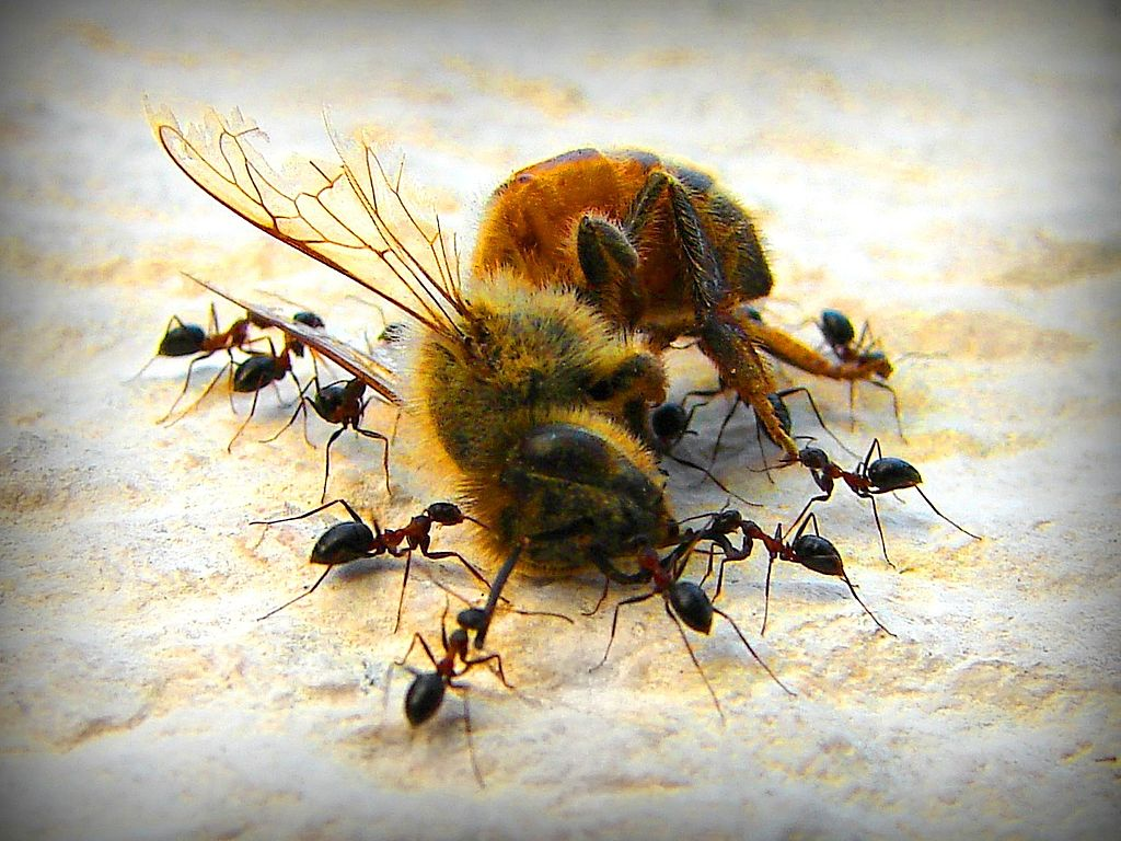 Ants eating a bee
