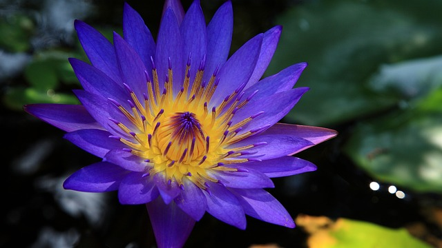 Blue Lotus: The Egyptian Dream Flower That Can Open Your Mind