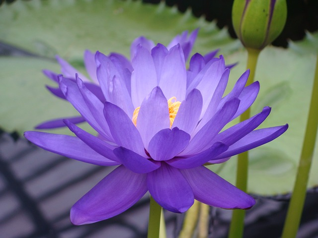 Blue lotus the egyptian dream flower that can open your mind the blue lotus mightylinksfo Image collections